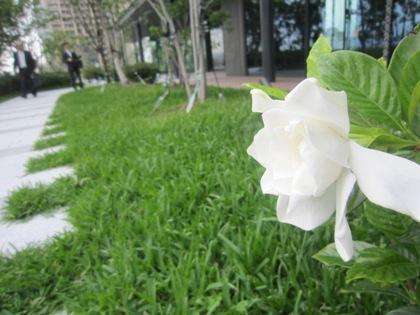 グランフロント大阪の空中庭園に咲くクチナシ
